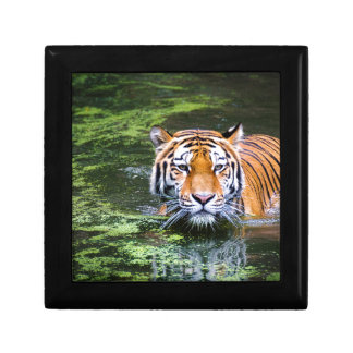 Tiger Swimming Gift Box