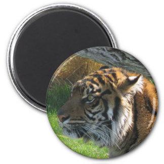 Tiger Tiger Magnet