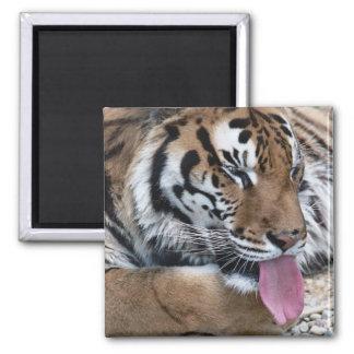 tiger tongue magnet