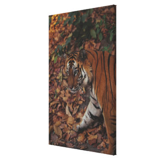Tiger Walking on Dead Leaves Canvas Print