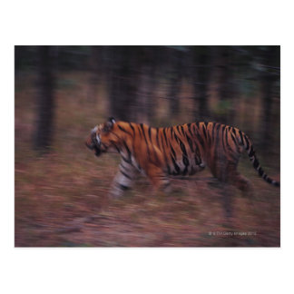 Tiger Walking through Forest Postcard