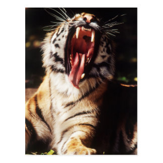 Tiger with mouth open postcard