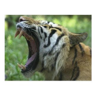 tiger yawn postcard