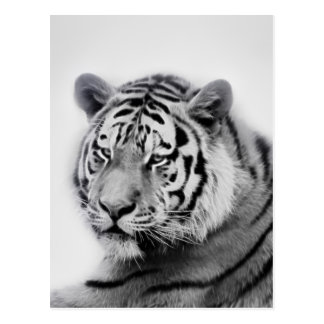 Tigers in black and white postcard