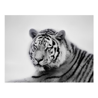 Tigers in black and white postcards