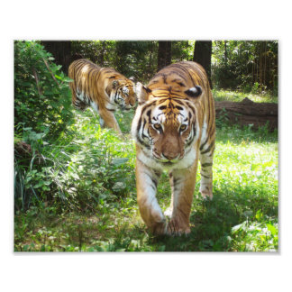 Tigers on the Prowl Photo