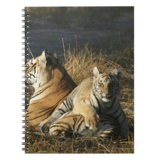 Tigers (Panthera tigris) cub lying on his Notebooks