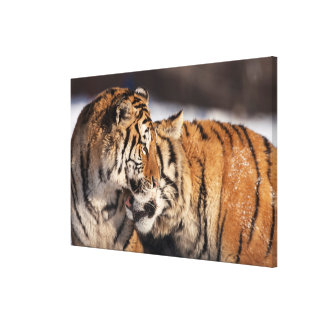 Tigers Showing Affection Canvas Print