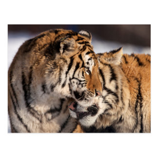 Tigers Showing Affection Postcard