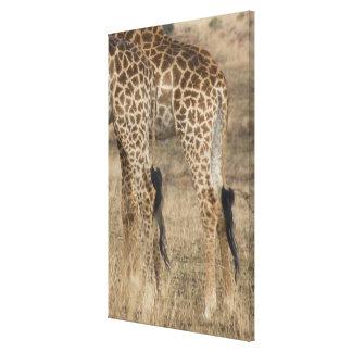 Tight crop of two Giraffes (Giraffa Stretched Canvas Prints