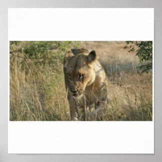 Timbavati Lion Poster