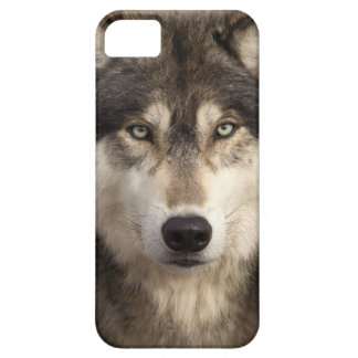 Timber wolf by Jim Zuckerman iPhone 5 Cases