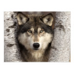 Timber wolf by Jim Zuckerman Postcard