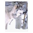 Timber Wolf, Canis lupus, Movie Animal Utah) Postcard