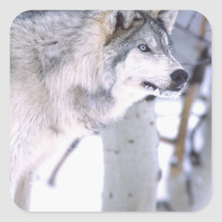 Timber Wolf, Canis lupus, Movie Animal Utah) Square Sticker