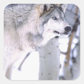 Timber Wolf, Canis lupus, Movie Animal Utah) Square Sticker