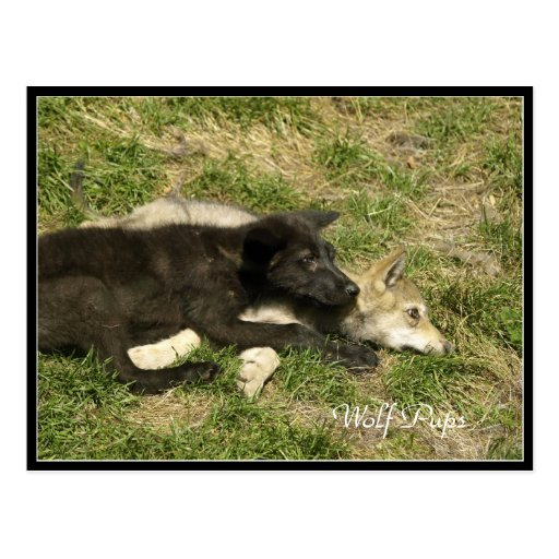 Timber Wolf Pups Wildlife-lover Postcards