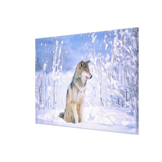 Timber Wolf sitting in the Snow, Canis lupus, Canvas Print