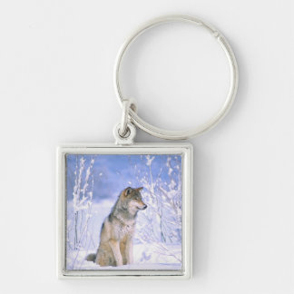 Timber Wolf sitting in the Snow, Canis lupus, Key Ring