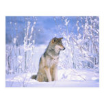 Timber Wolf sitting in the Snow, Canis lupus, Postcard