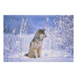 Timber Wolf sitting in the Snow, Canis lupus, Posters