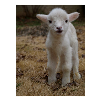 Timmy the Lamb Poster