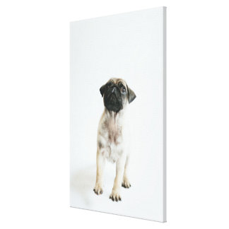 Tiny And Cute Pug Puppy Canvas Print