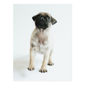 Tiny And Cute Pug Puppy Postcard