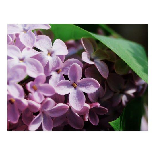 tiny lilac blossom postcard