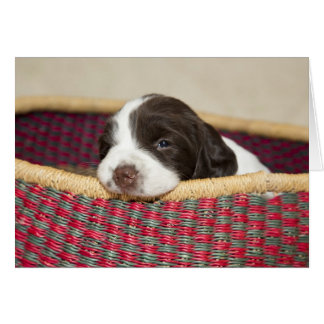 Tiny Springer Spaniel Puppy Card