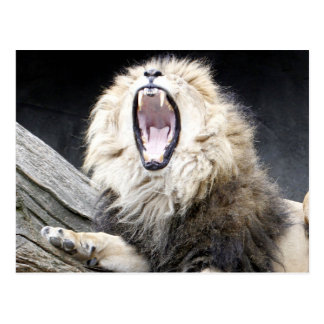 tired lion postcard