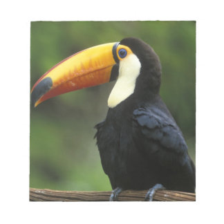Toco Toucan, (Ramphastos toco), Iguacu National Notepad