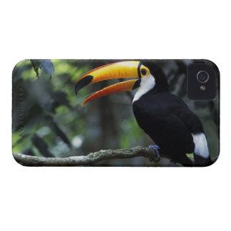 Toco Toucan (Ramphastos toco), Iguazu Falls, iPhone 4 Cases