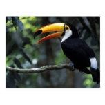Toco Toucan (Ramphastos toco), Iguazu Falls, Post Card