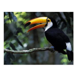 Toco Toucan (Ramphastos toco), Iguazu Falls, Postcard