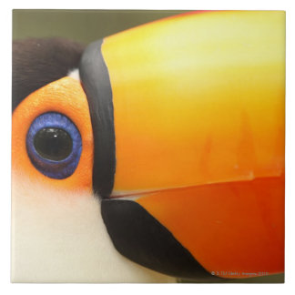 Toco Toucan (Ramphastos toco) is the largest Tile