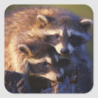 Together Forever Raccoons Square Sticker