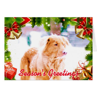 Toller retriever in the snow Christmas card