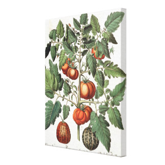 Tomatoes and Melons: 1.Poma amoris fructu luteo; 2 Canvas Print