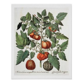 Tomatoes and Melons: 1.Poma amoris fructu luteo; 2 Poster