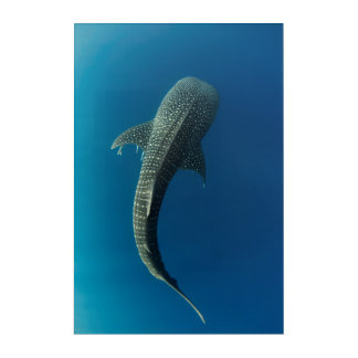 Top view of a Whale Shark Acrylic Print
