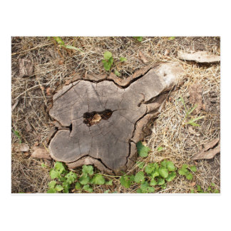 Top view of an old stump of cut tree cracked postcard