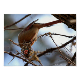 """Topsy Turvey"" Female Cardinal Posters"