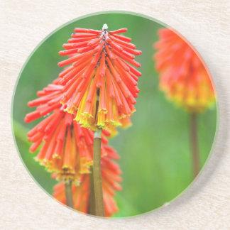 Torch Lily (Kniphofia Uvaria), Western Cape Coaster