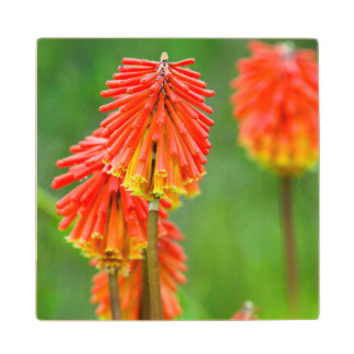 Torch Lily (Kniphofia Uvaria), Western Cape Wood Coaster
