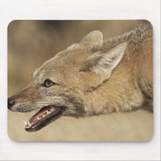 Torres del Paine, Chile. Patagonian Gray Fox, Mouse Pad