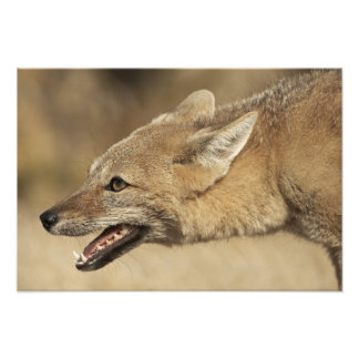 Torres del Paine, Chile. Patagonian Gray Fox, Photo Print