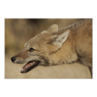 Torres del Paine, Chile. Patagonian Gray Fox, Poster