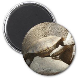 tortoise climbing magnet