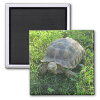Tortoise in Grass Square Magnet